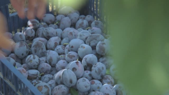 plum gathering in orchard - plum stock videos & royalty-free footage
