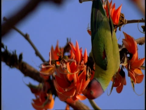 cu plum headed parakeet, psittacula cyanocephala, feeding in flowering tree, bandhavgarh national park, india - national icon stock videos & royalty-free footage