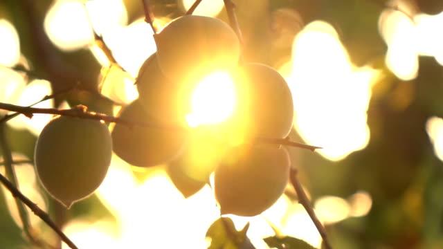 pflaume auf baum-slow-motion im sonnenlicht - sonnenstrahl stock-videos und b-roll-filmmaterial