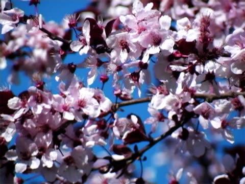 vídeos de stock e filmes b-roll de flores de ameixa - pistilo