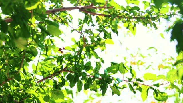 pflaumenbaum - pflaume stock-videos und b-roll-filmmaterial