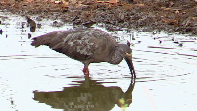 vídeos de stock e filmes b-roll de plumbeous ibis searching for food - bico