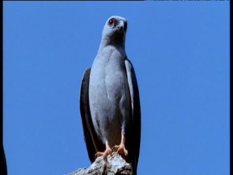 plumbeous kite sits on perch looking around, brazil - 鳥の鉤爪点の映像素材/bロール