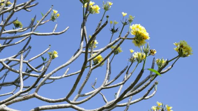 plumeria alba - balinese culture stock videos & royalty-free footage