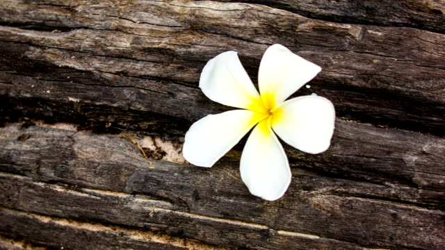Plumeria blossom on the old wood.