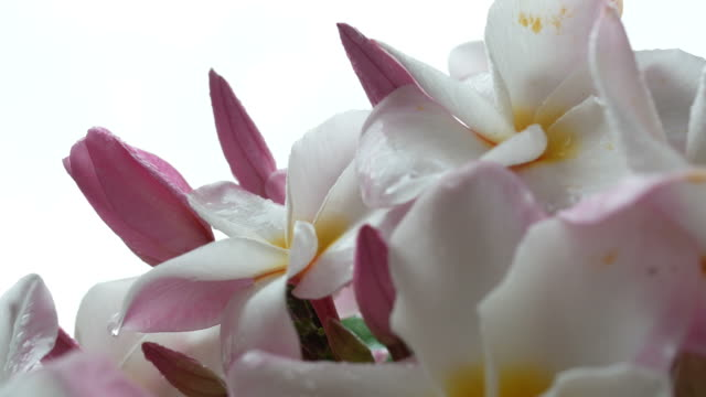 plumeria flower on tree - tropical flower stock videos and b-roll footage