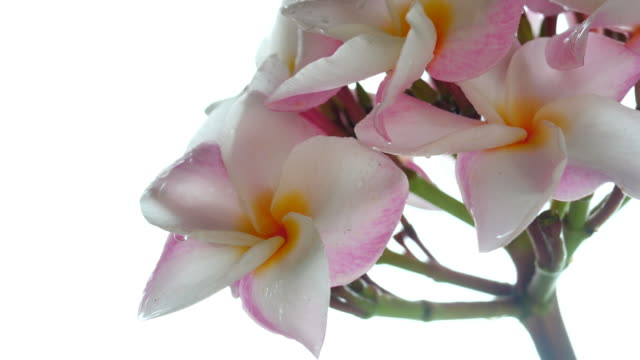 plumeria flower on tree , white background - bunch of flowers stock videos & royalty-free footage