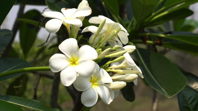 plumeria in bloom - hawaiian culture stock videos & royalty-free footage