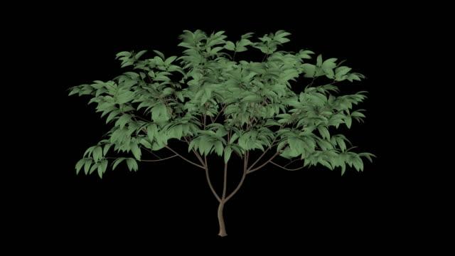 Plumeria Árvore