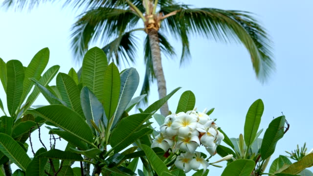 Plumeria vibrant White and yellow tropical flowers palm tree Kauai Hawaii
