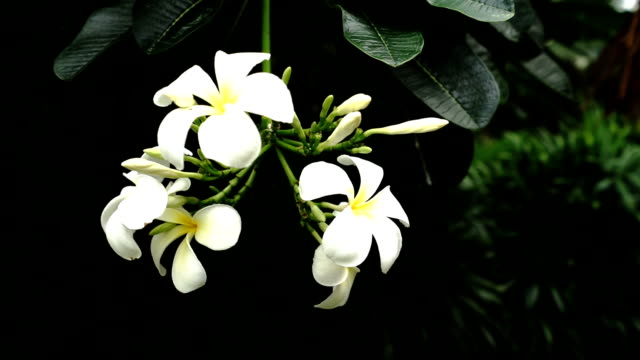 plumeria - tropical climate stock-videos und b-roll-filmmaterial
