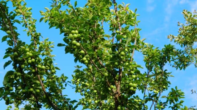 plums fruit on plum tree - plum stock videos & royalty-free footage