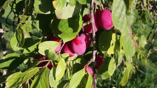 plums growing in an orchard near pershore in worcestershire, uk. - plum stock videos & royalty-free footage