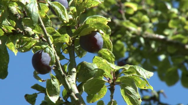 plums hanging from tree - plum stock videos & royalty-free footage