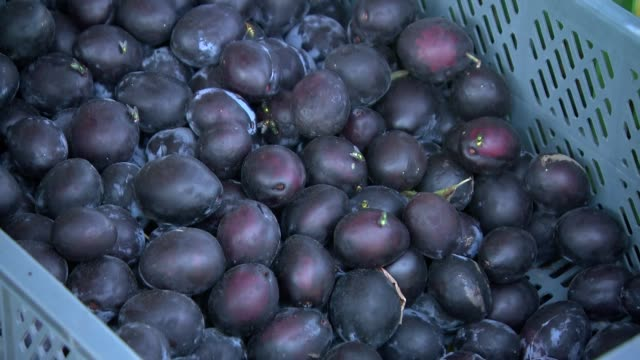 plums in plastic crates - plum stock videos & royalty-free footage