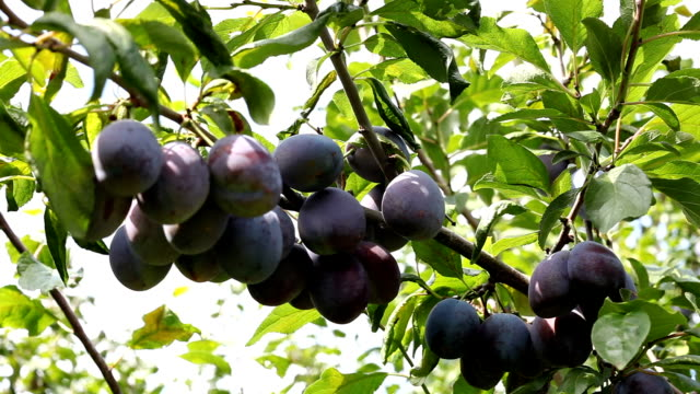 plums on a tree - plum stock videos & royalty-free footage