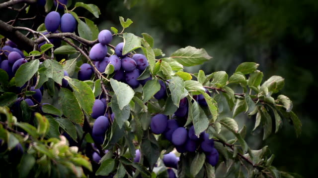 plums - ripe stock videos & royalty-free footage