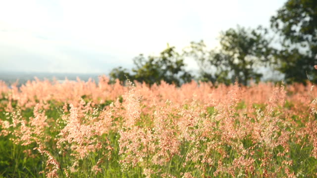 poaceae grass flower are blowing by wind in blue sky - stationary stock videos & royalty-free footage