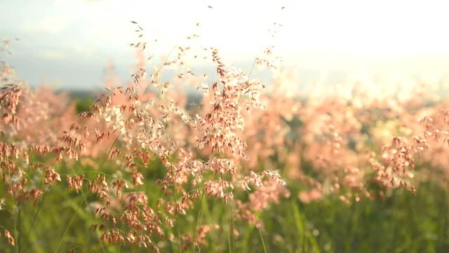 süßgräser (poaceae) wiese blume im wind - klammer stock-videos und b-roll-filmmaterial