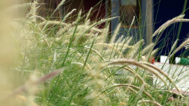 poaceae grass in chilling day - wood grain stock videos & royalty-free footage