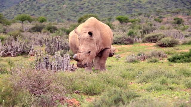 vidéos et rushes de poché afrique sauvage rhinocéros blanc - république d'afrique du sud