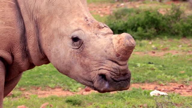 Pocherad vilda afrikanska vit noshörning