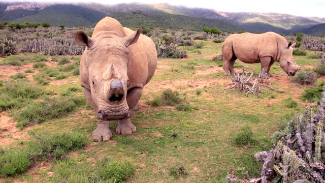 Poached Wild African White Rhinos