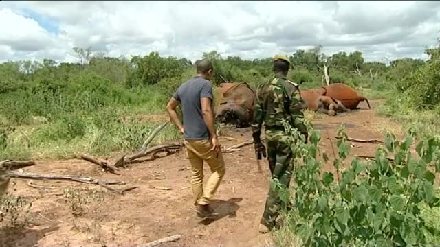Poaching problem in Lewa National Park 912013 helicopter shots over National Park and showing family of elephants corpses on ground Various shots...
