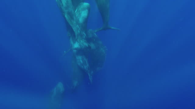 vidéos et rushes de a pod of about 8 sperm whales rapidly swim to the surface where they begin interacting in a social group, north western coast of mauritius. - cachalot