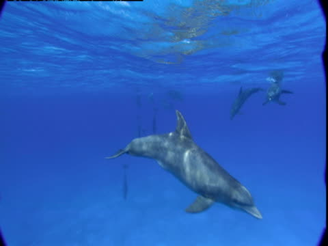 vídeos de stock e filmes b-roll de a pod of atlantic spotted dolphins play together just below the surface in the bahamas. - golfinho pintado pantropical
