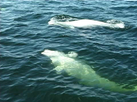 MCU, pod of Beluga swimming together under water, surfacing, water green from plankton (2006). St Lawrence, Canada.