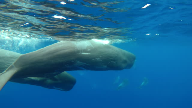 a pod of bottle nosed dolphins harass two sperm whales which swim to try and avoid them, atlantic ocean, pico island, the azores, portugal. - pod group of animals stock videos & royalty-free footage