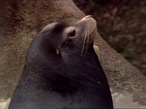 pod of california sea lions naps in a zoo habitat. - pod group of animals stock videos & royalty-free footage