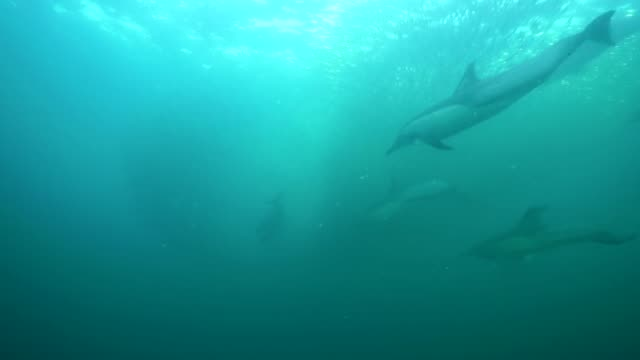 a pod of common dolphins attack a sardine bait ball during the sardine run, off the east coast of south africa. the common dolphins work as a team to round up the sardines and push them toward the surface. - common dolphin stock videos & royalty-free footage