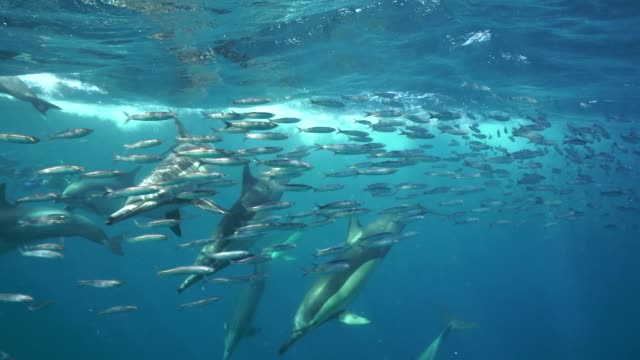 a pod of common dolphins attack on a sardine bait ball during the sardine run, wild coast, south africa. - common dolphin stock videos & royalty-free footage