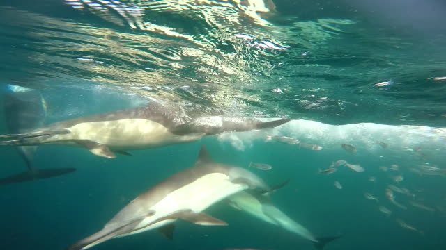Pod of common dolphins feeding on sardines, close in view, taken during the sardine run off the east coast of South Africa.