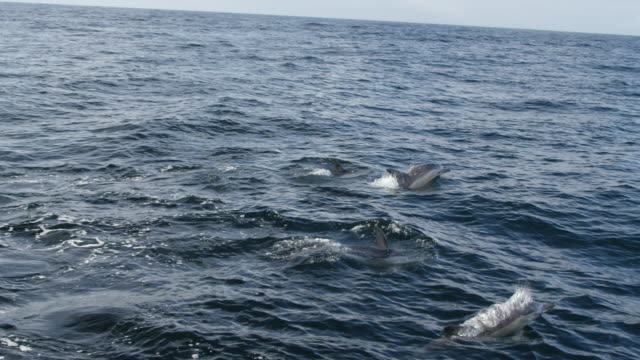pod of common dolphins moving through ocean - common dolphin stock videos & royalty-free footage