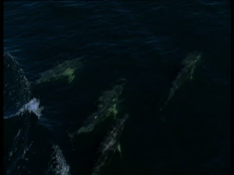 stockvideo's en b-roll-footage met pod of common dolphins porpoising, western scotland - common dolphin