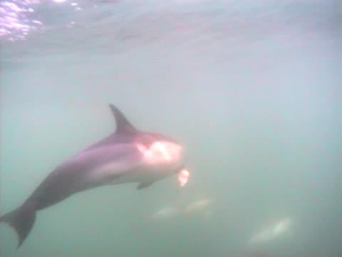 vídeos y material grabado en eventos de stock de pod of common dolphins starleft of frame, tracking as weave, leave clip right of frame.. gibraltar, mediterranean - grupo pequeño de animales