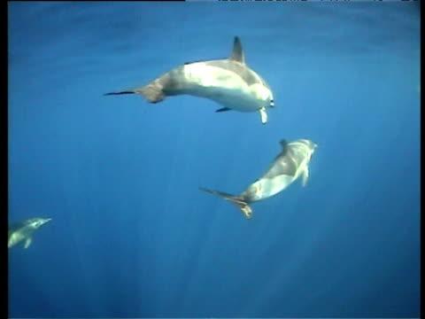 stockvideo's en b-roll-footage met pod of common dolphins swim, spain - common dolphin
