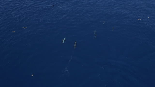 pod of dolphins and cory´s shearwater birds travel in blue ocean - atlantikinseln stock-videos und b-roll-filmmaterial