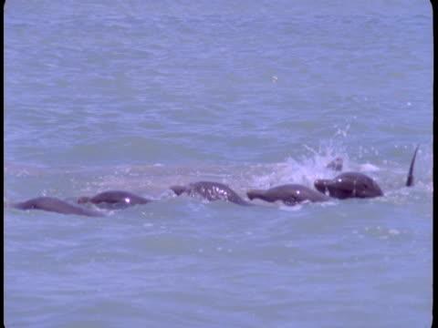 vídeos de stock, filmes e b-roll de a pod of dolphins cavort at the surface of the water. - bando de mamíferos marinhos