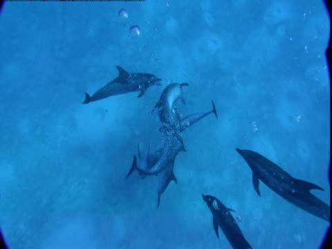 vídeos de stock e filmes b-roll de a pod of dolphins cavorts along a sandy seabed. - golfinho pintado pantropical