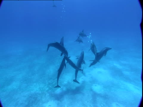 vidéos et rushes de a pod of dolphins congregates on a sun-dappled seabed and then ascends toward the surface. - groupe de mammifères marins
