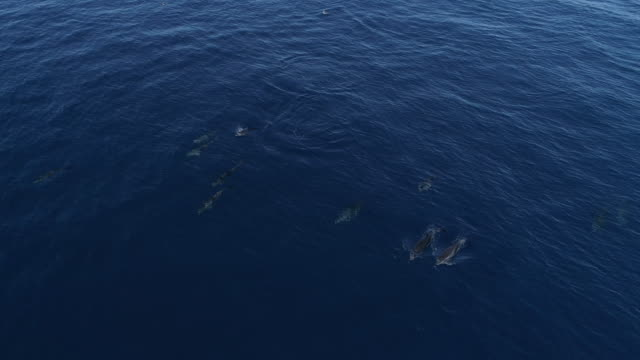 Pod of dolphins cruise calm through blue ocean