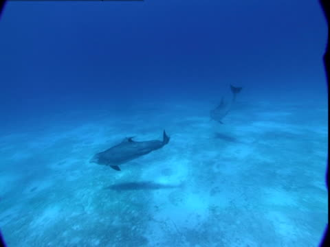 vidéos et rushes de a pod of dolphins dives down the the sea floor to explore in the bahamas. - groupe de mammifères marins