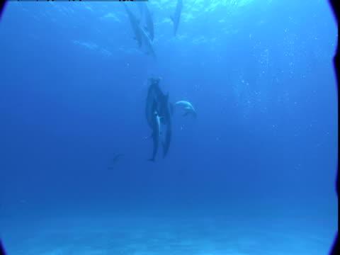 vídeos de stock e filmes b-roll de a pod of dolphins dives playfully toward the sea floor in the bahamas. - cetáceo