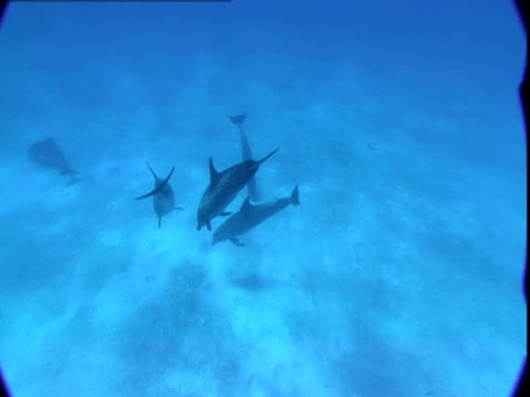 a pod of dolphins explores a seabed in the bahamas. - naso di animale video stock e b–roll