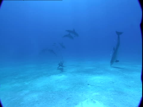 vidéos et rushes de a pod of dolphins explores the seabed as they swim together in the bahamas. - groupe de mammifères marins