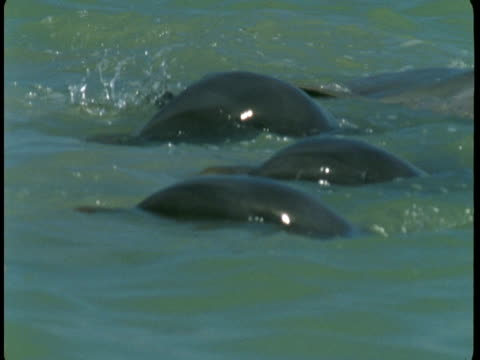 a pod of dolphins feed at the surface of the water. - rückenflosse stock-videos und b-roll-filmmaterial